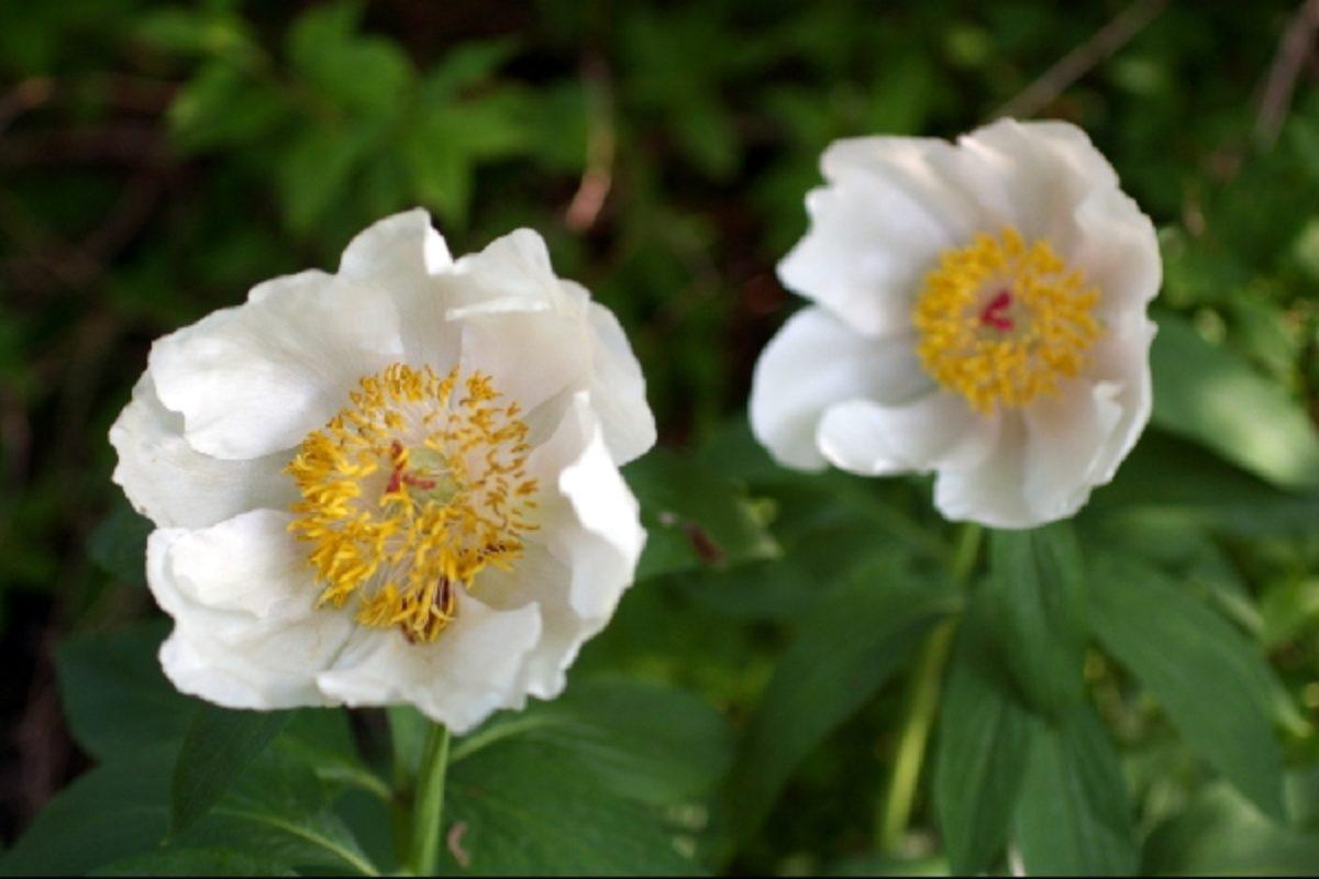 Paeonia mascula ssp. arietina 'Alba'