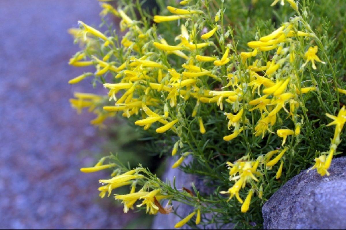 Penstemon pinifolius 'Mersea Yellow