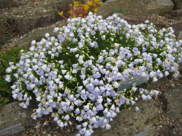 Campanula cochlearifolia elizabeth oliver