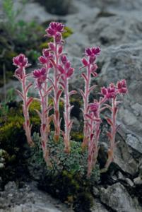 Saxifraga porophylla