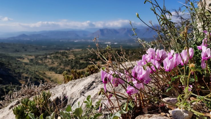 Cyclamen graecum overlooking the Nafplion plane