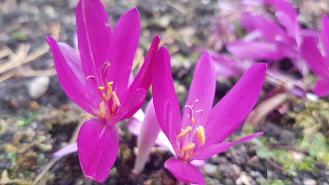 Colchicum atropurpureum