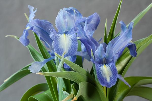 Iris 'Cadenza'