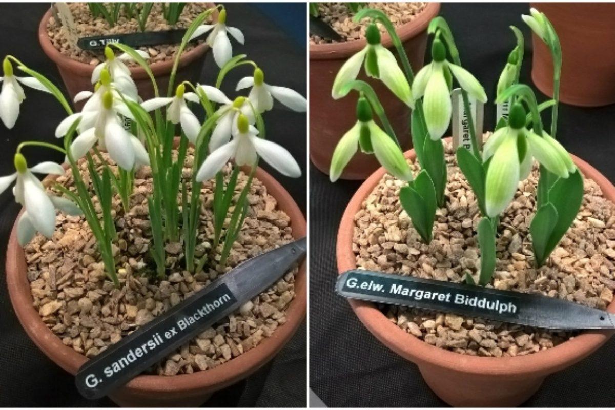 Galanthus sandersii ex Blackthorn (left) and Galanthus elwesii 'Margaret Biddulph' (right).
