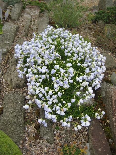 Campanula cochlearifolia elizabeth oliver 2