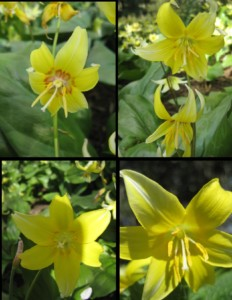 4 different views of a flowering Erythronium