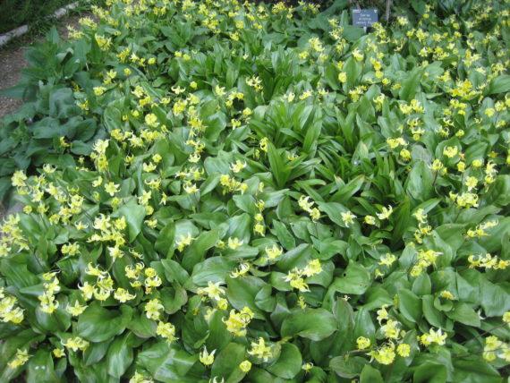 A flowering Erythronium