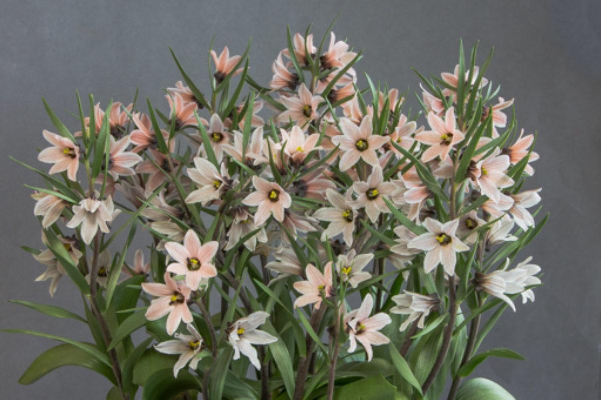 Fritillaria stenanthera_exh_George Elder