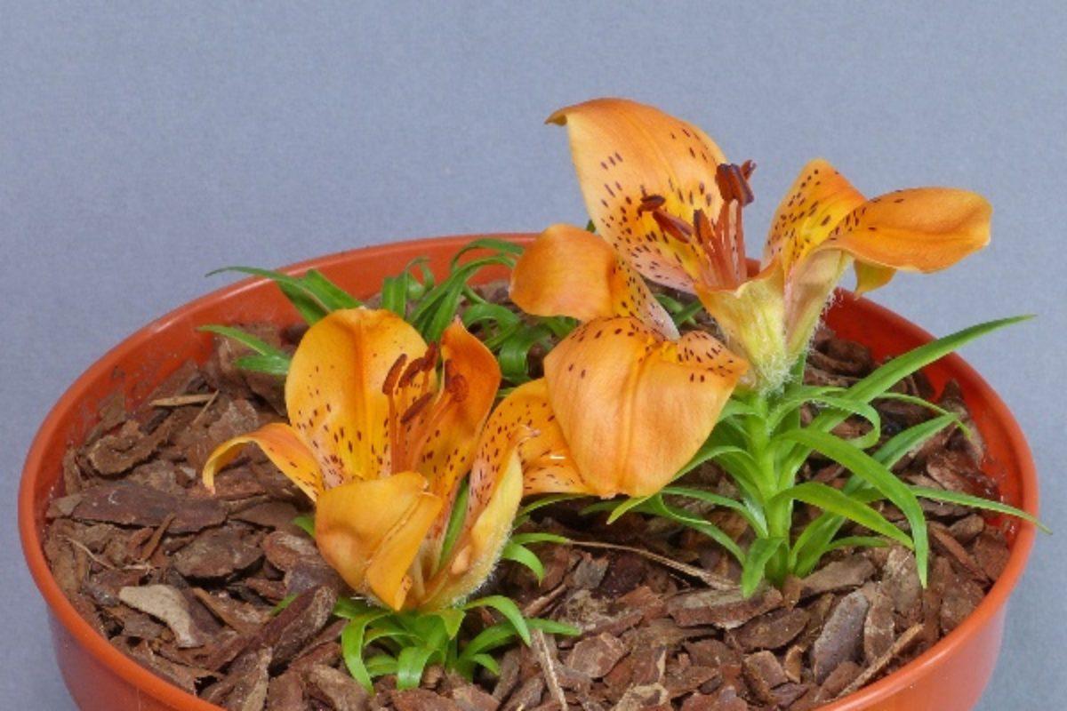 Lilium dauricum rebunense - Diane Clement
