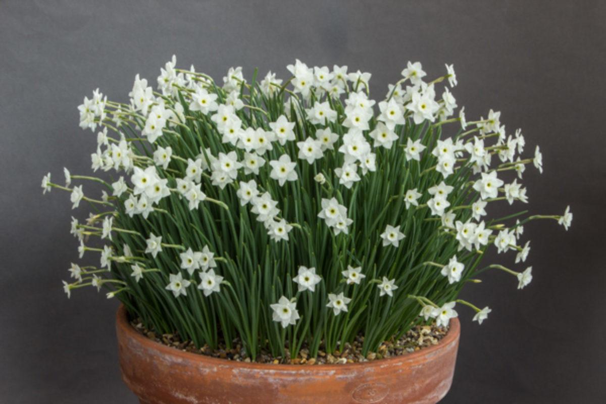 Narcissus watieri_exh_Nigel Fuller