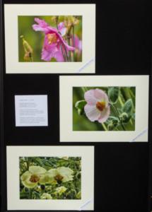 Photographs of Meconopsis_exh_Christine Hughes_39435196452209