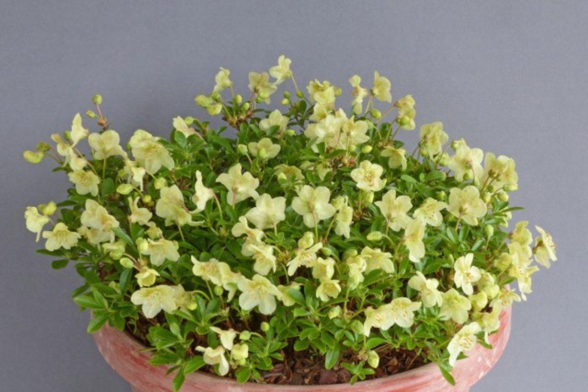 Rhododendron_lowndesii_(Farrer)_-_Dave_Mountfort