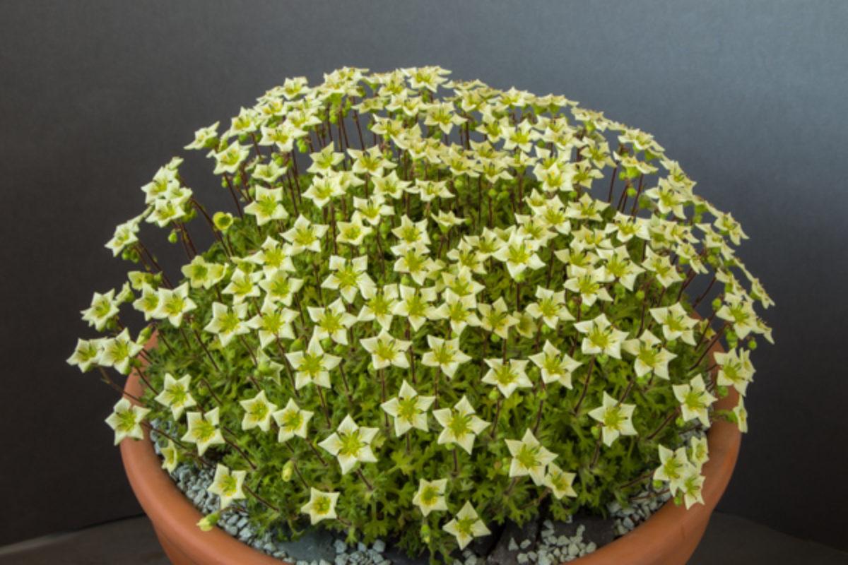Saxifraga reuteriana (Exhibitor: Mark Childerhouse)