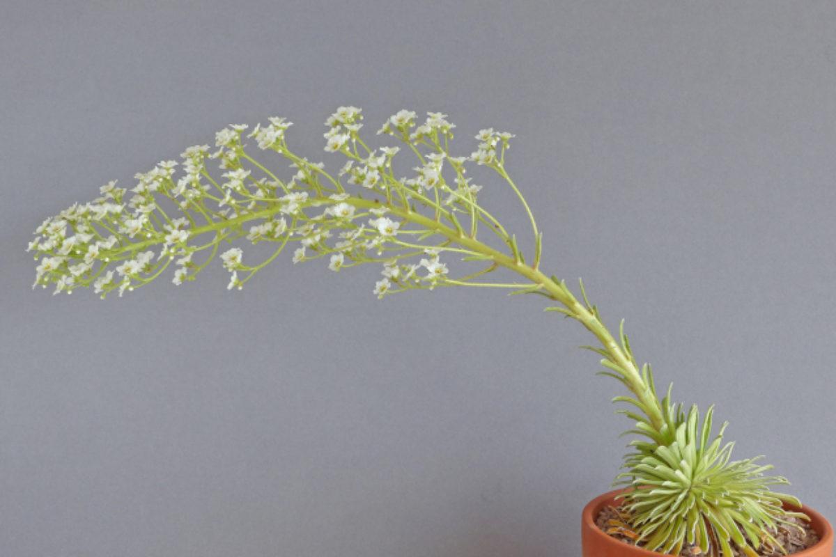 Saxifraga_longifolia_-_Paul_Mackenzie