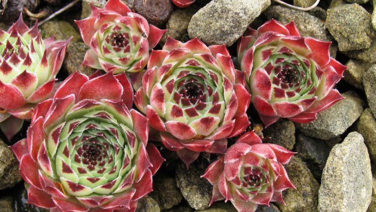 Sempervivum cultivar photo Claire Clever (2)
