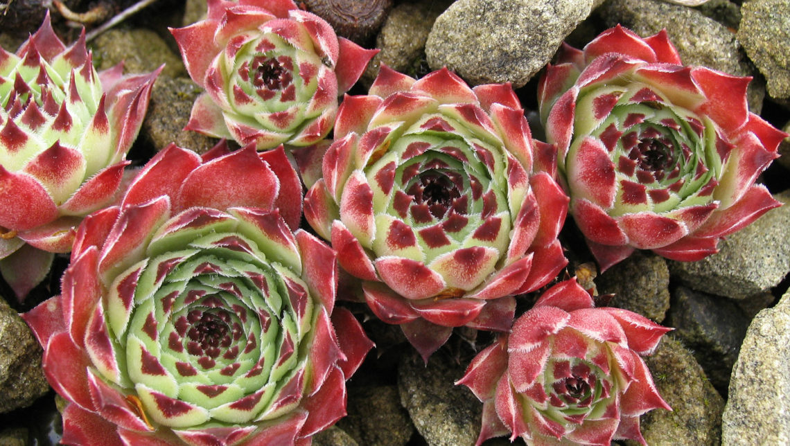 Sempervivum cultivar photo Claire Clever new