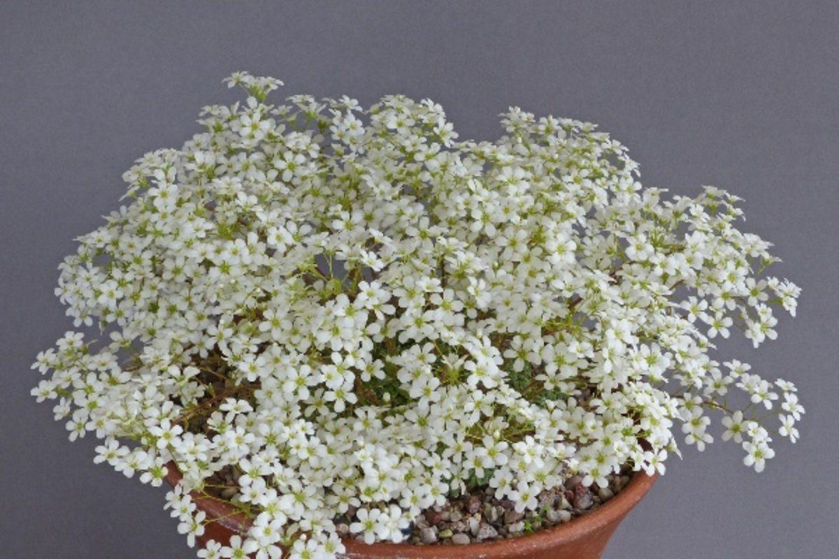 Saxifraga callosa var. australis - John & Clare Dower