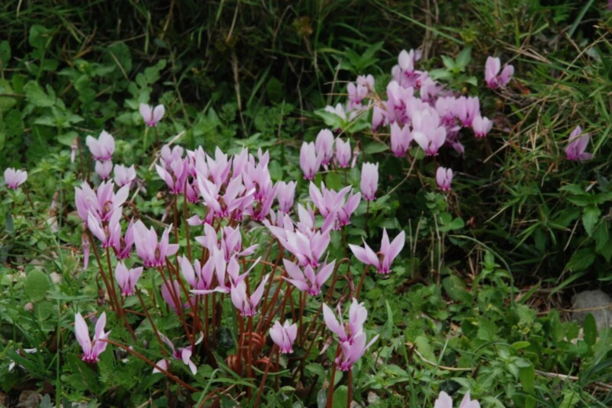 Cyclamen hederifolium (the Peloponnese)