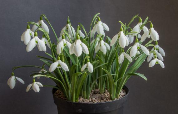 A pot of Galanthus hybrid
