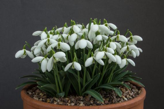 A pot of Galanthus plicatus - Sophie North