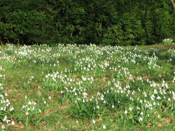 A meadow of Galanthus Plicatus - Colossus