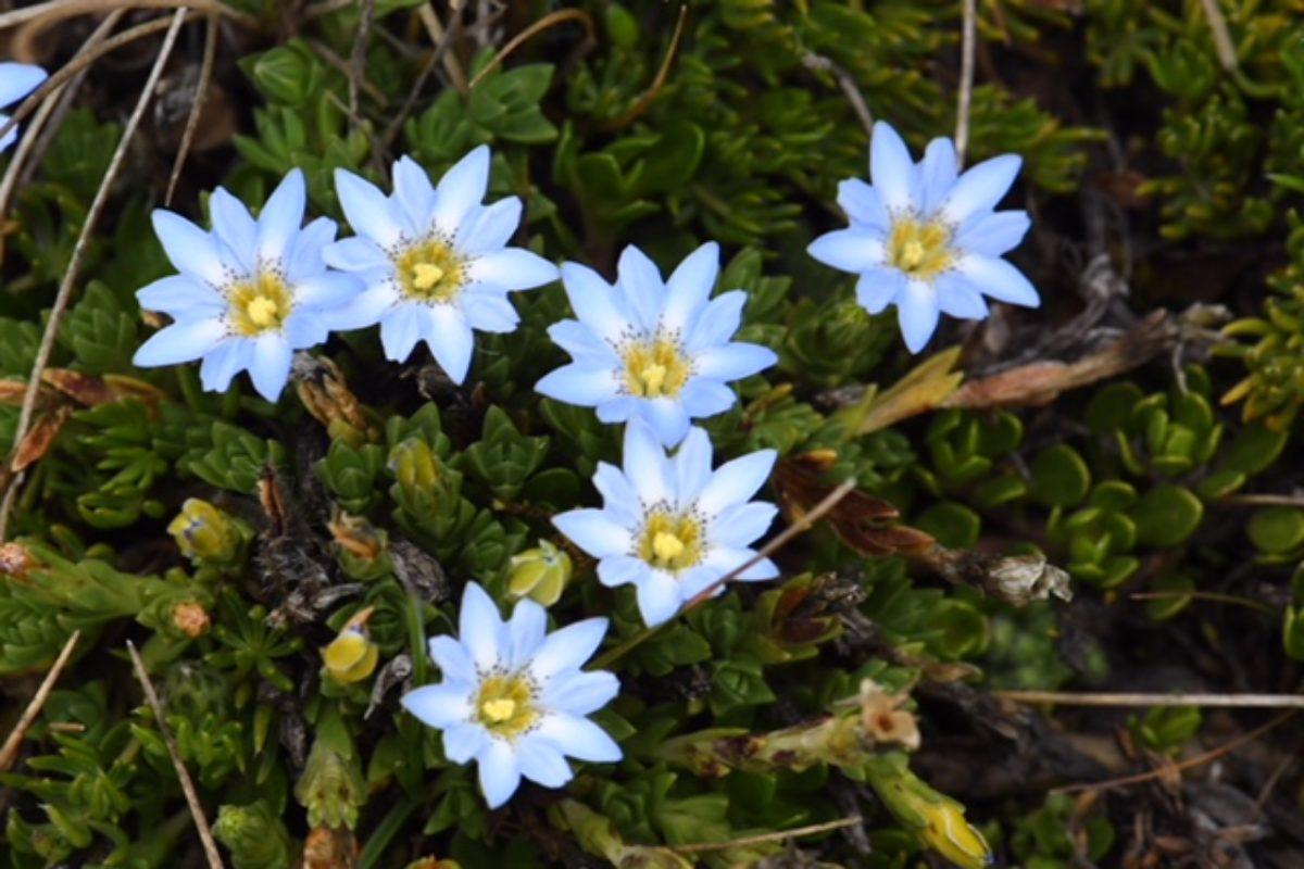 gentiana sedifolia ecuador and peru