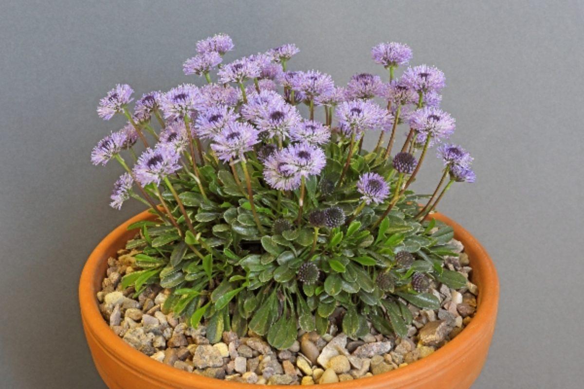 globularia-meridionalis_don-peace