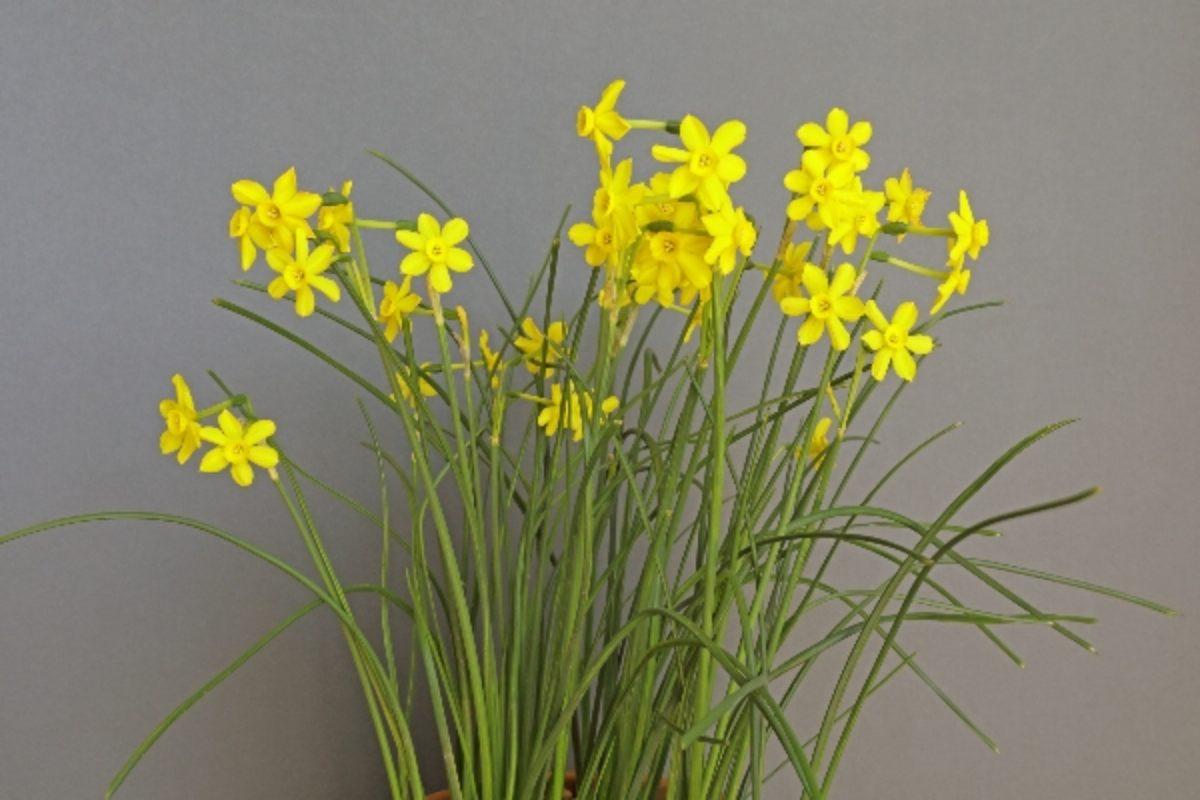 narcissus-jonquilla_clare-oates