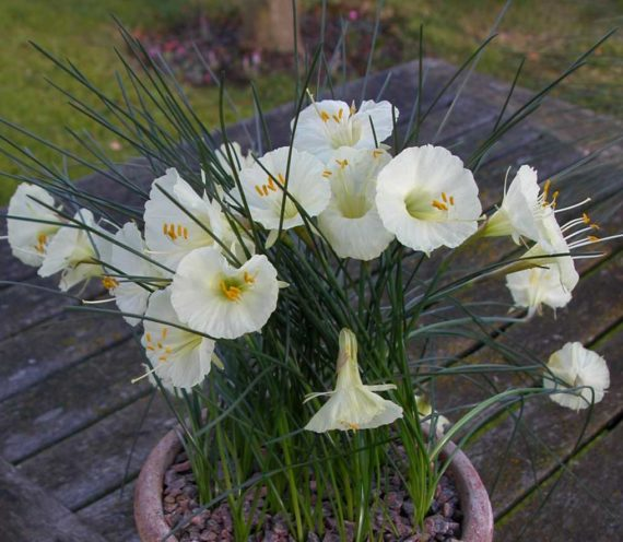 A close up of a pot of narcissus romieuxii