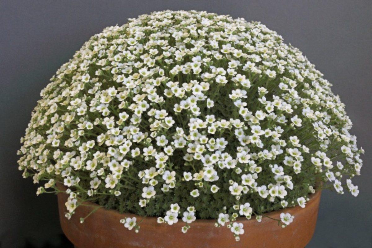 saxifraga-pubescens-Snowcap_clare-oates_scunthorpe-aga-certificate-of-merit