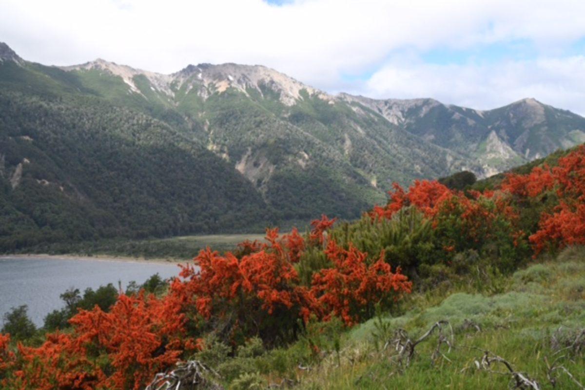 Embothrium coccineum (Patagonia)