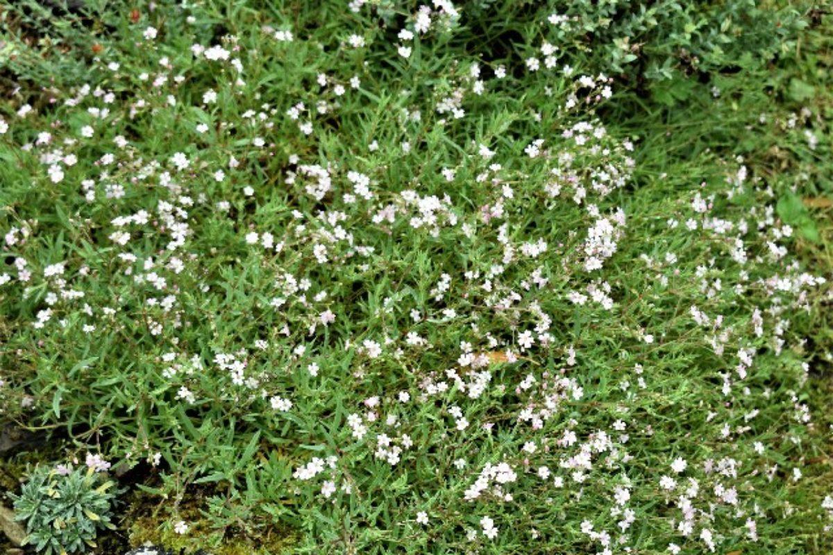 Gypsophila repens