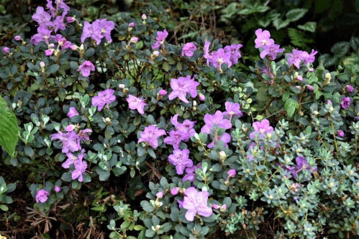 Rhododendron calostrotum Gigha