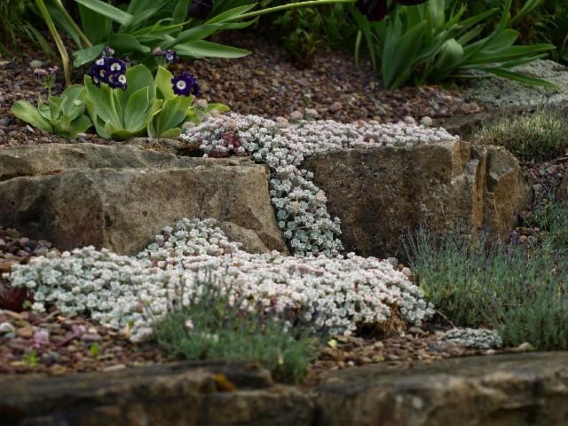 Sedum spathulifolium 'Cape Blanco