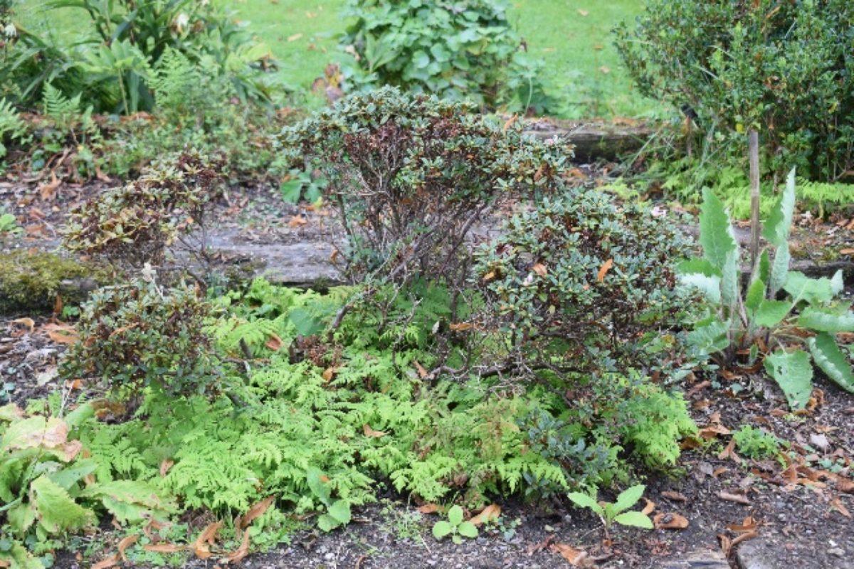 Rh. cephalanthum 'Crebreflorum', overgrown with oak fern