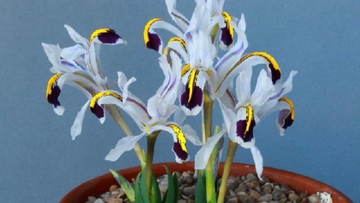 Iris rosenbachiana 'Darwas' shown by Ivor Betteridge