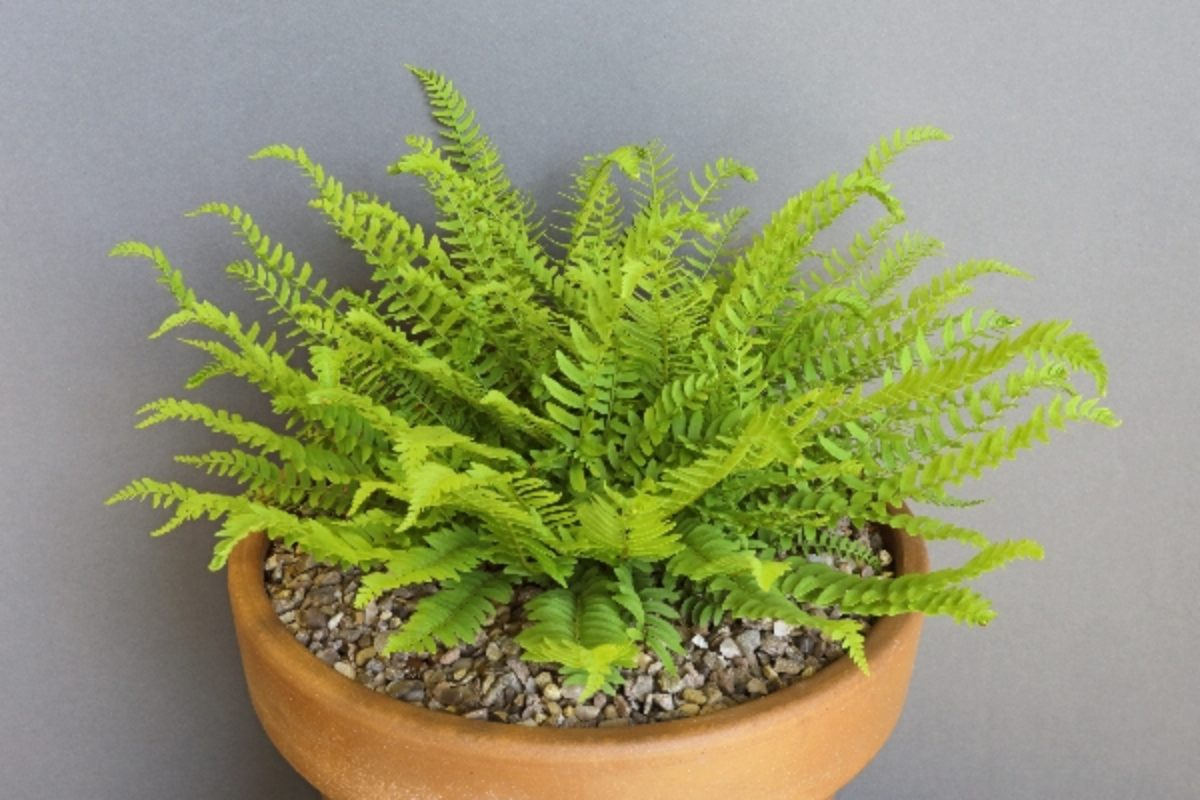 woodsia-polystichoides_don-peace