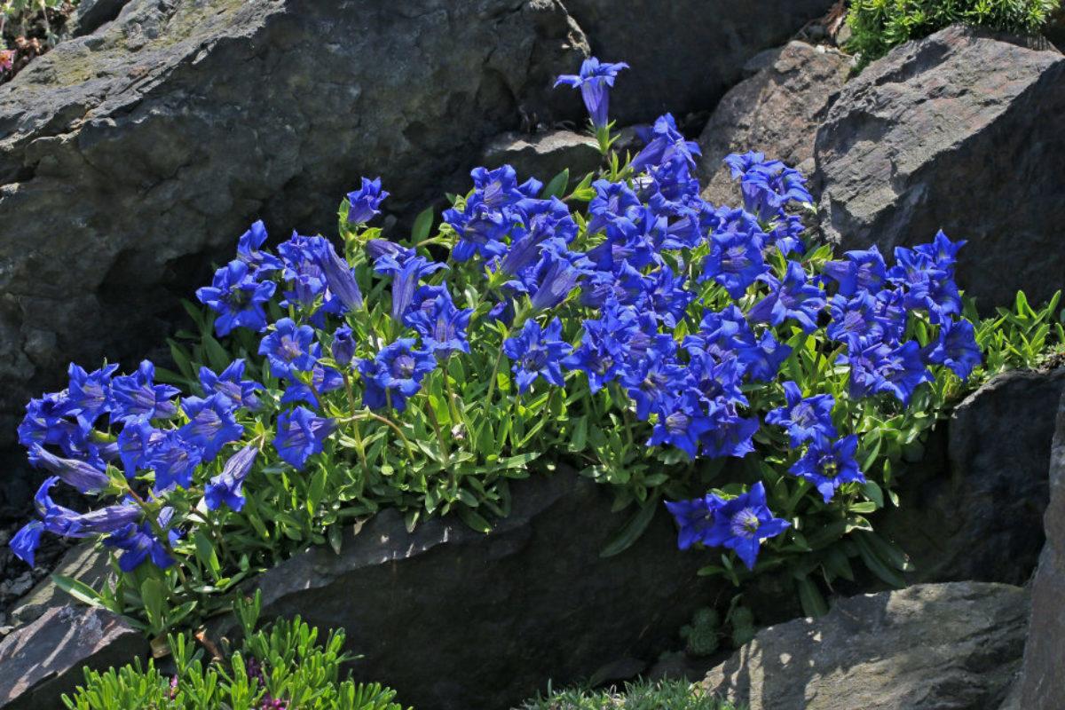 Winner Class 4, 2017: Gentiana sp., Jiri Papousek's Garden, Czech Republic (Martin & Anna Sheader)