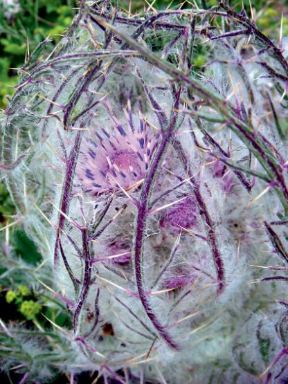 Class 8 winner: An imprisoned thistle flower (Schmalhausenia nidulans., Hilary Birks Bjorndalstrae, Norway.