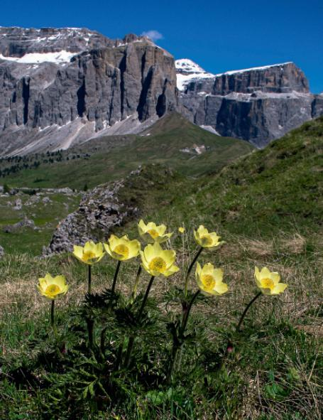 Overall competition winner: Pulsatilla alpina subsp. apiifolia by Karen Gregory, London.