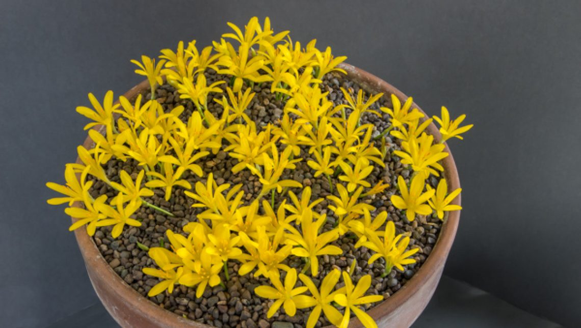 Sternbergia greuteriana_exh_Ian Robertson_88494839849162