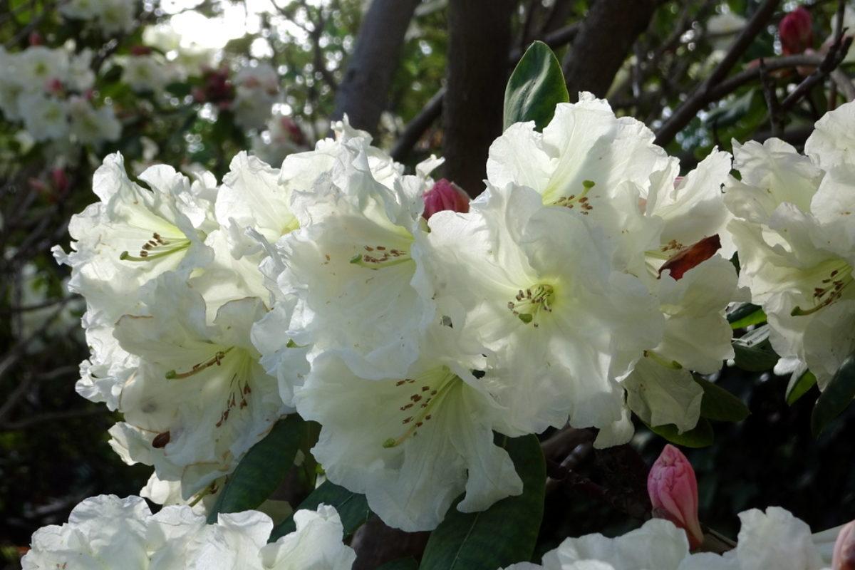 Rhododendron aff. wardii var. puralbum