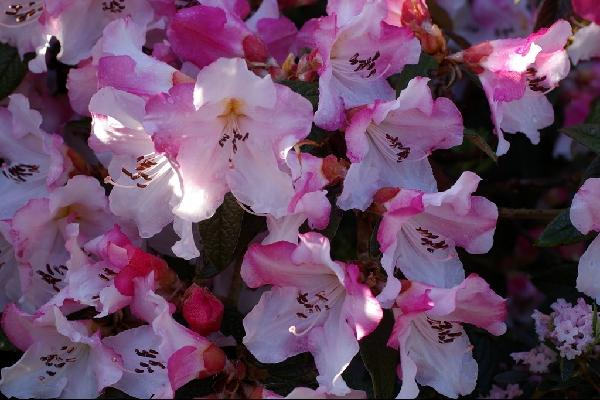 Rhododendron edgeworthii Bodnant Form