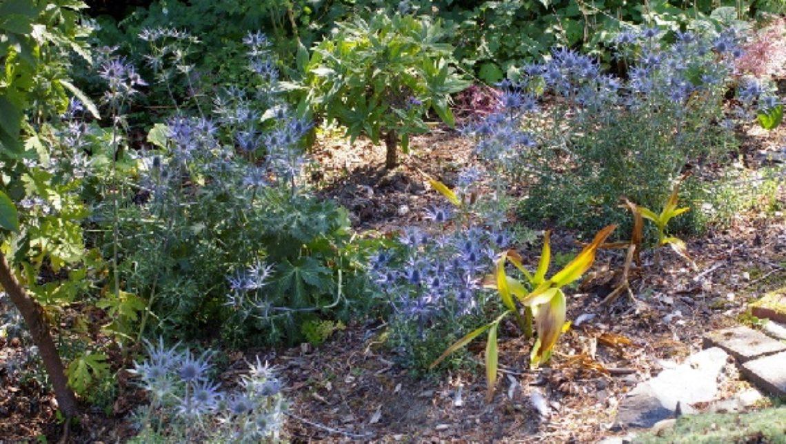 Eryngium bourgattii 'Picos Blue', E. zabellii 'Big