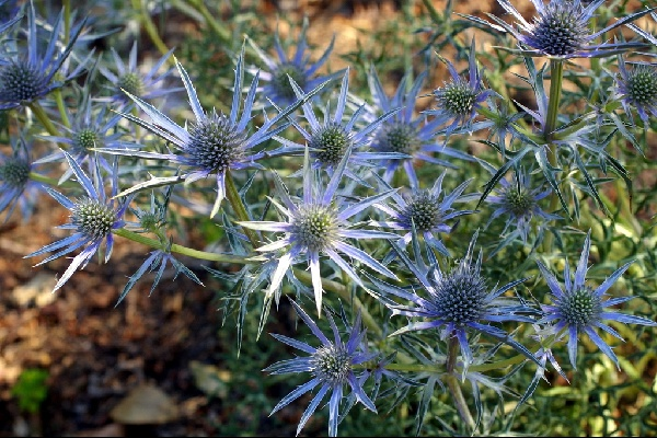 Eryngium bourgatii 'Picos Blue' close-up