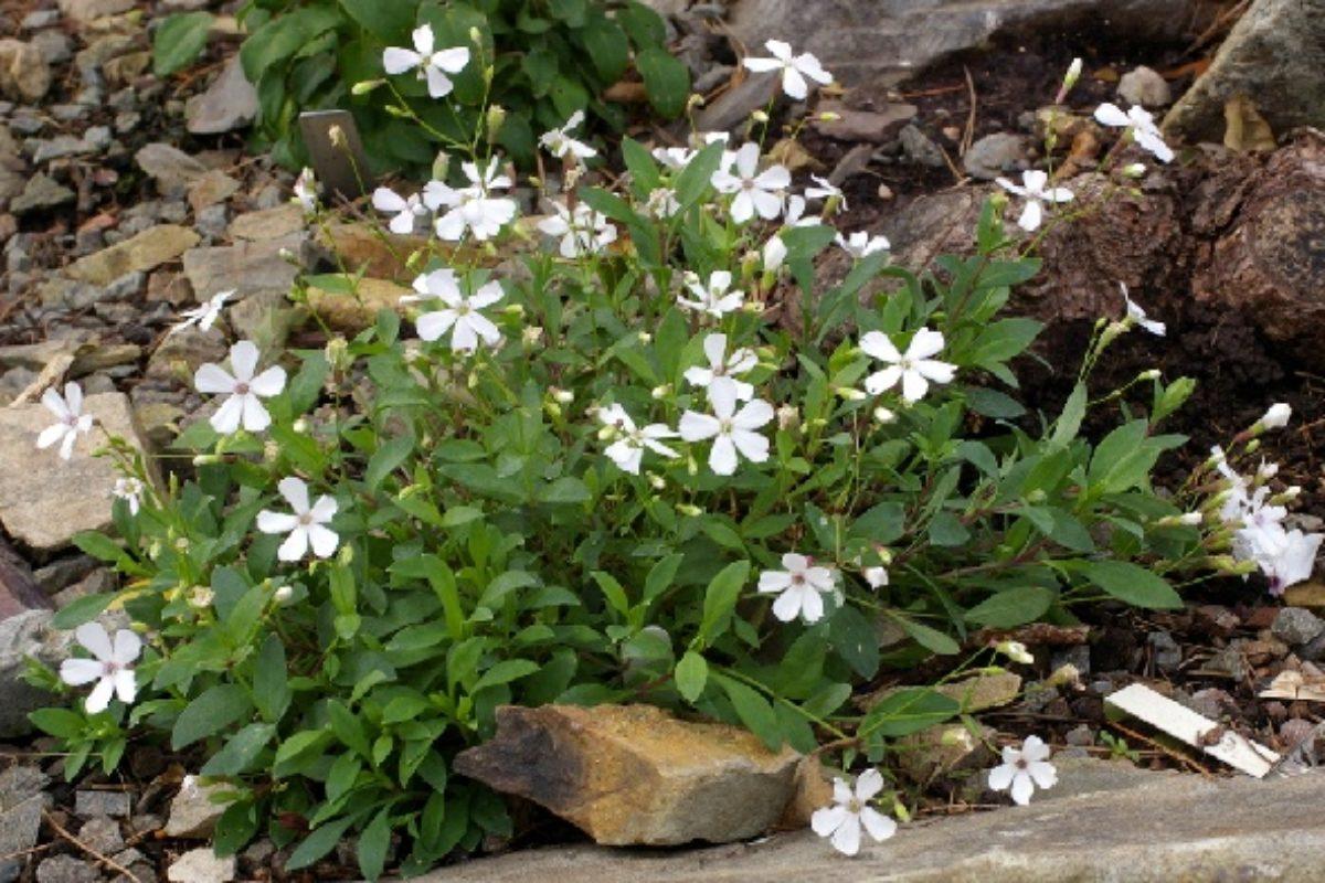 Silene glaucophylla