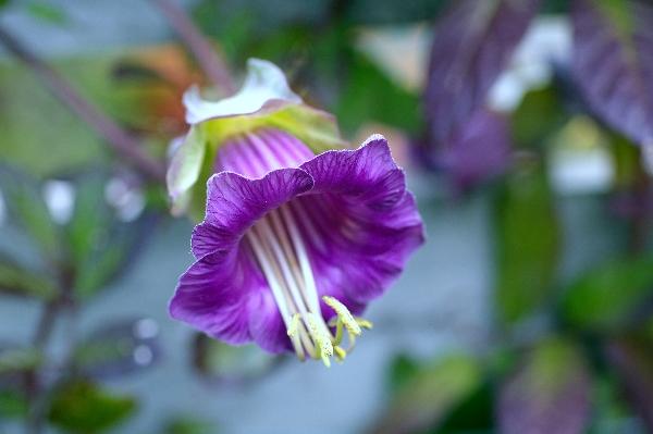 Cobaea scandens, close-up of mature flower