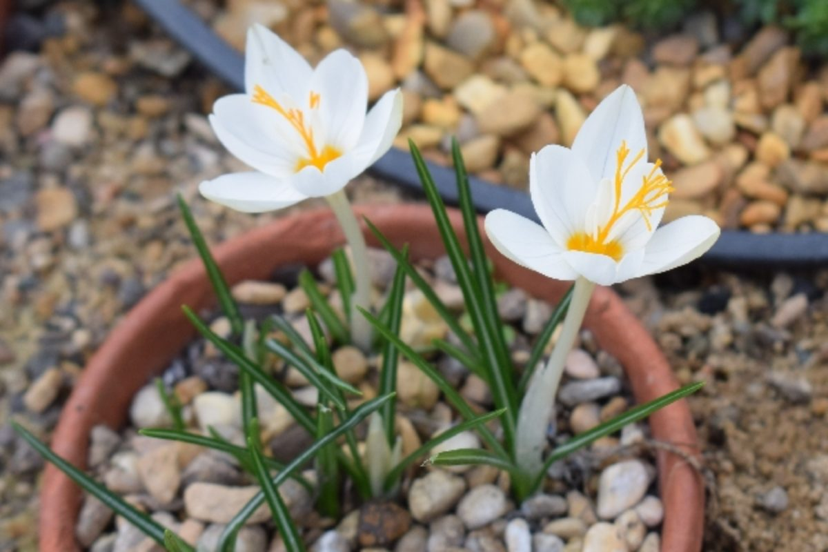 Here is another of Ray's bulbs, just come into flower today, a form of Crocus laevigatus from Zarakas, inland from Monemvasia. Like most C. laevigatus from the Peloponnesos (and those I found in NW Greece last autumn) is is almost unmarked and very similar to small forms of C. boryi.