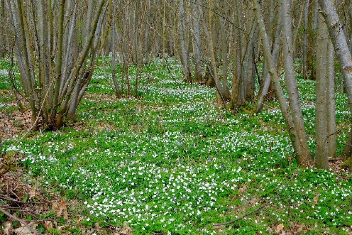 The Blean Woodland