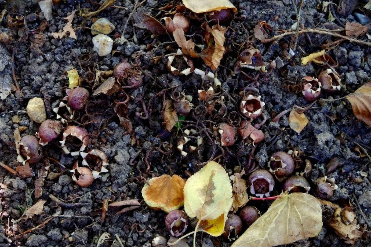 Cyclamen seed